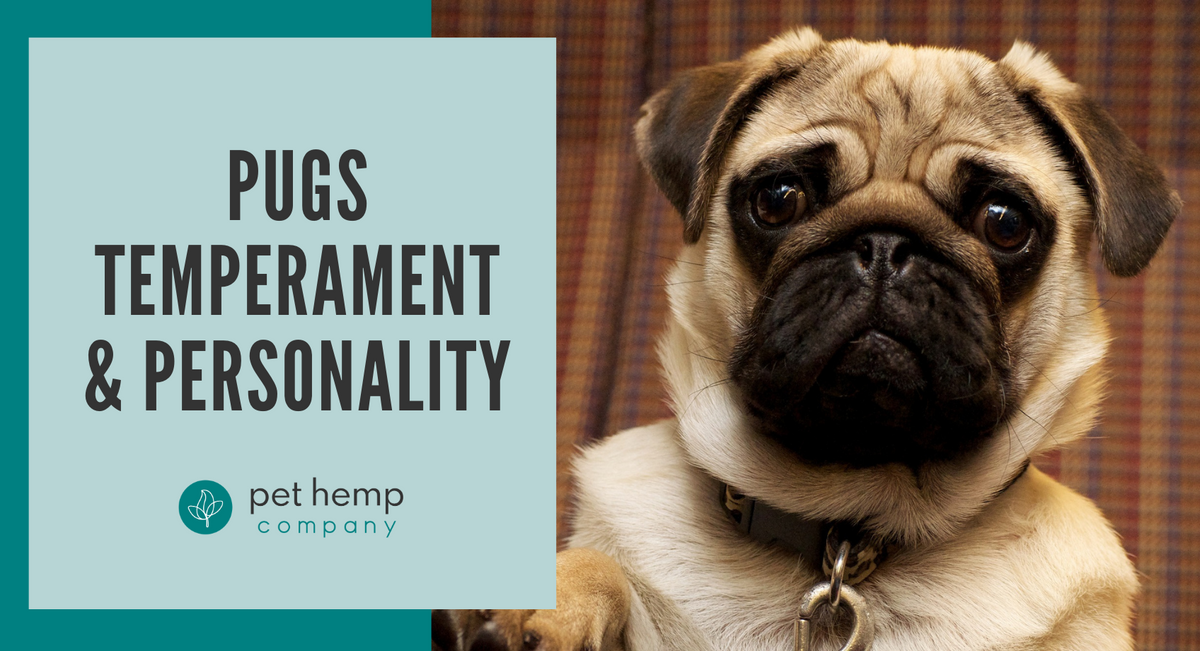 Pugs Temperament & Personality
