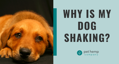 Why Is My Dog Shaking?