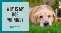 Why Is My Dog Whining?