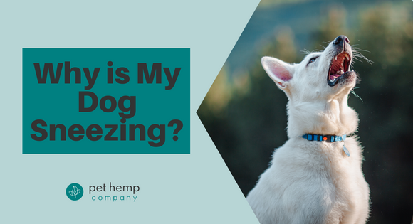 Why is My Dog Sneezing?