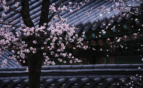 Plum Blossoms, its Symbolism and Meanings