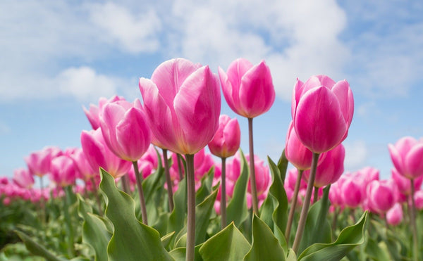 Tulip Flower, Its Symbolism, and Meaning