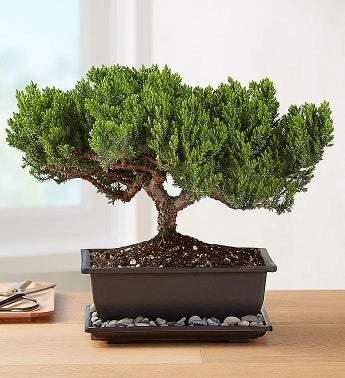 Juniper Bonsai [Free Delivery] - Carved Nature