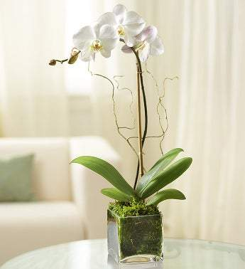 Elegant Orchid - White [Free Delivery] - Carved Nature