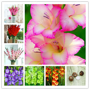 2 Bulbs,Beautiful Gladiolus Flower for  home garden