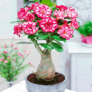 1 Pcs Desert Rose Adenium Obesum Potted Flower Seed
