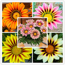 100 Pcs Gorgeous Gazania Rigens Flower Africa Seed
