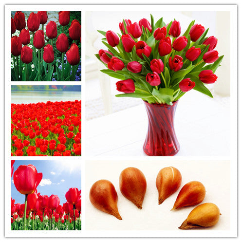 5pcs Red Tulip Bulbs (Not Tulip Seeds), Fresh Bulbous Root Flowers good quality