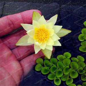 1pcs/PACKS Lotus Flower Hydroponic Aquatic Plants Seeds Perennial Water Lily Plant for Mini Garden