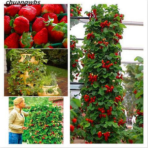 300ct  Red Strawberry Heirloom fruit seeds for home garden