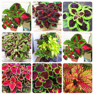 100pcs Rainbow Mix Coleus Seeds - 15 Kinds Of Flower Home Garden Decor or Balcony Plant