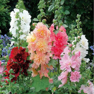 20 Seeds Hollyhock Country Romance Mix Alcea Rosea Flower