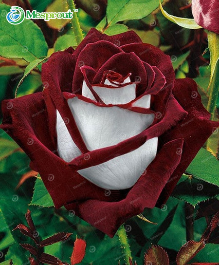 100 pieces/pack  Osiria Rose Flower Seeds