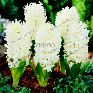 105pcs/bag Hyacinth seeds, Perennial Hyacinth potted seed, plant flower seed for home& garden