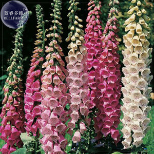 Mixed Foxglove Seeds, 200 seeds, perennial gorgeous 4 Feet tall awe inspiring