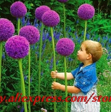 100pcs/bag Giant Onion (Allium giganteum) seed beautiful flower home garden