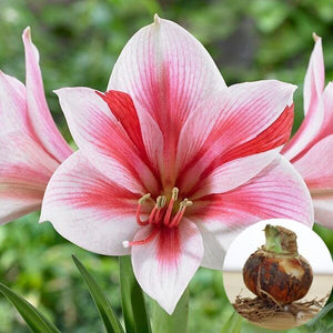 2 Pcs/ Bag True Pink Hippeastrum Rutilum Bulbs  Flower Plant Garden.(Not Seeds )