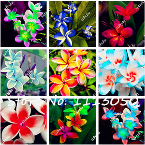200Pcs/Bag Plumeria ( Frangipani, Hawaiian Lei Flower ) Seeds, Exotic Flower Seeds for Home Garden