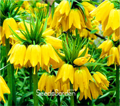 100 Pcs/Bag Yellow Imperial Crown Seeds