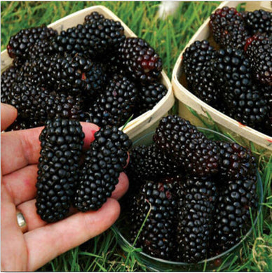 100pcs Giant Thornless Blackbeery Seeds Antioxidant Fruit