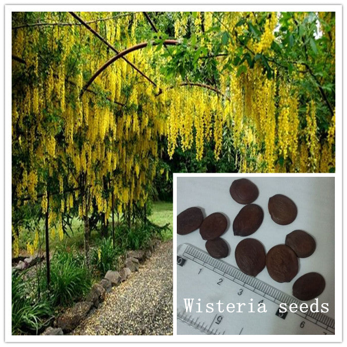 10PC Large climbing vine winding yellow wisteria seeds - ornamental shade garden