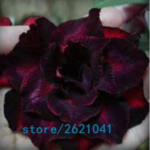 Double petals Desert Rose 2 pcs/bag