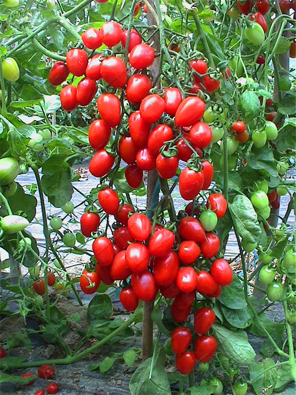 100pcs/bag cherry tomato seed. Organic fruits vegetables seeds for home garden
