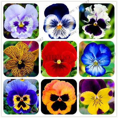 100Pcs/bag  24 Color DIY Home Garden Pansy Seeds Potted Or Yard Ornamental Plants