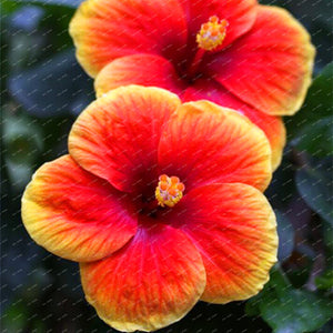 200 Hibiscus Flower Seeds, Mixed different Colors, DIY Home and Garden ornamental potted or yard flower plants