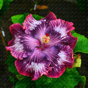 200 Seeds Hibiscus Flower Seeds, Mixed different Colors, DIY Home and Garden ornamental potted or yard flower plants