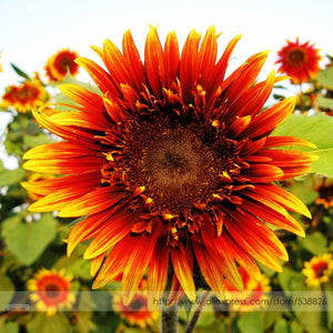 15 Seeds / Pack- Beautiful Bicolor Ornamental Sunflower Seeds, Blooms A Lovely Addition To Yard