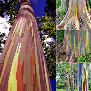 100 RAINBOW tree seeds