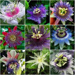 30 seeds- Passion Mixed Flowers Seeds,, tasty colorful home garden climbing perennial plants