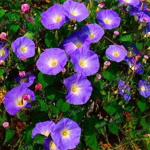 200pcs mixed color Morning Glory seeds for home garden