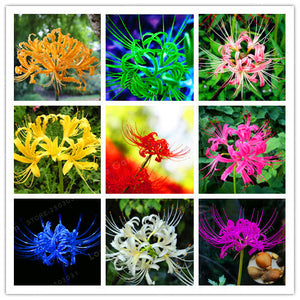 2 Bulbs- Multi-Color  Lycoris Bulbs,  True Lycoris Bulbs,(Not Seeds), DIY Home Garden