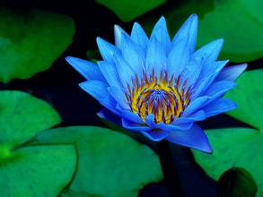 10PC sky blue lotus seed/Hydroponic flowers small water lily seeds mini lotus seeds bonsai seeds Aquatic plants