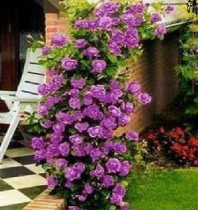 100seeds/bag Purple Climbing Rose Seeds