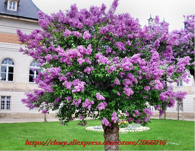 10Seeds/bag FRENCH LILAC Flower Shrub Tree Seeds