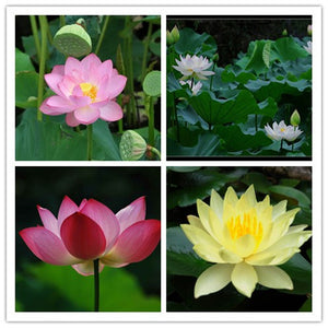 10seeds Mixed 4 Colors Xihu Lake Wild Lotus Flower Seeds