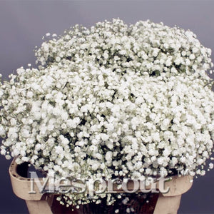 100 pcs Seeds -Baby's Breath