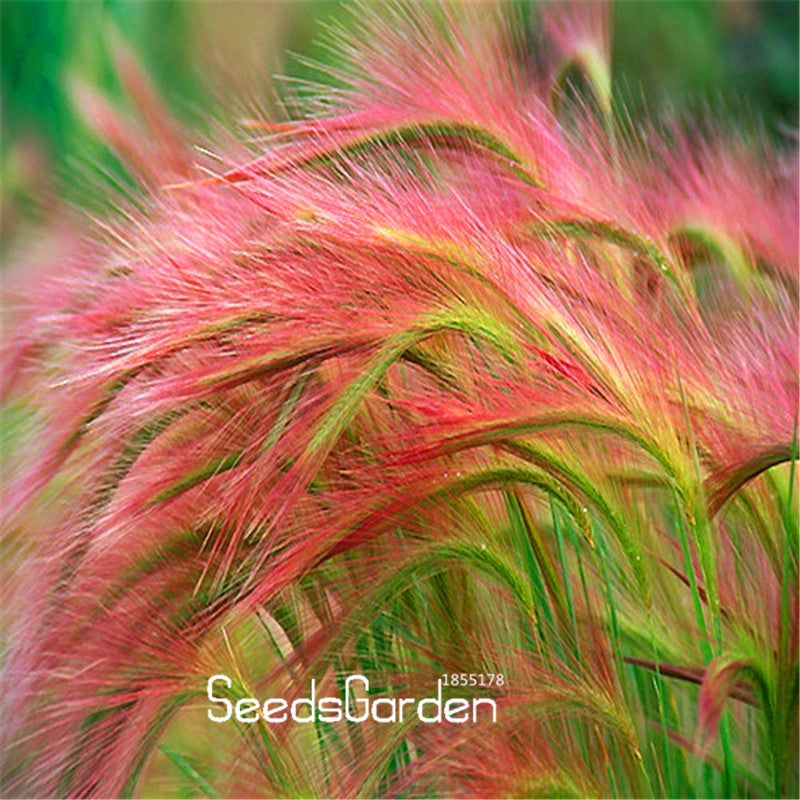 100 Pieces/Bag Foxtail Ornamental Grass Seeds