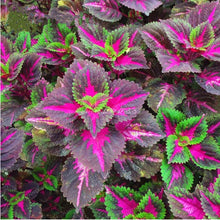 100pcs Foliage  Color Rainbow Dragon Plants, Beautiful Garden Flower Plant