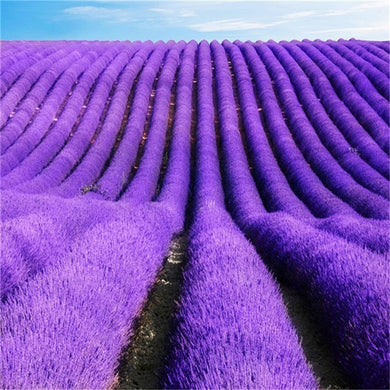 100 pcs Italian lavender fragrant flower. Beauty Your Garden
