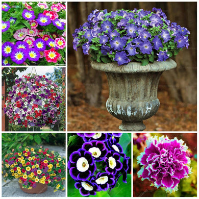 200 pcs Hanging Petunia plants Mixed color. Hardy Very Beautiful Garden Flowers