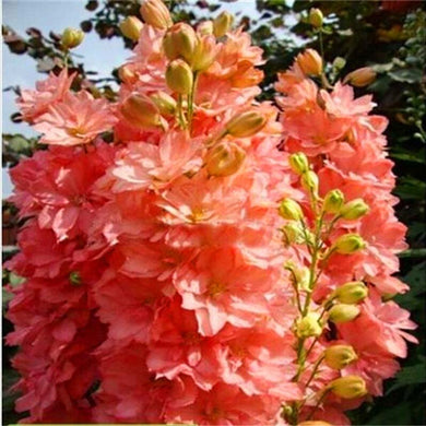 100 Pcs Delphinium Beautiful Garden Giant Flowers,  Hardy plants