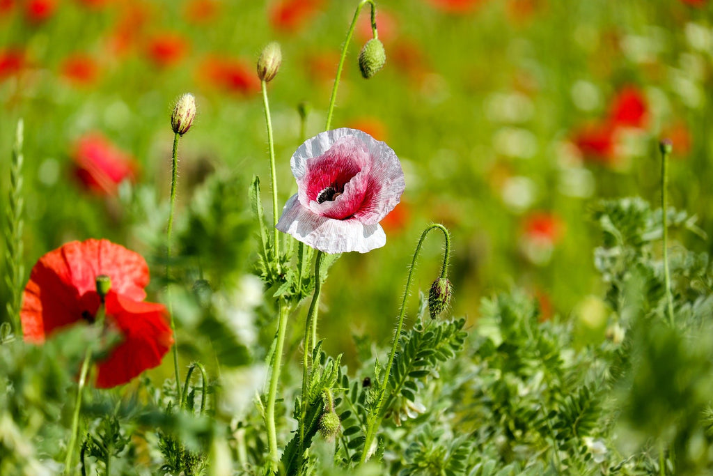 Tall poppy syndrome