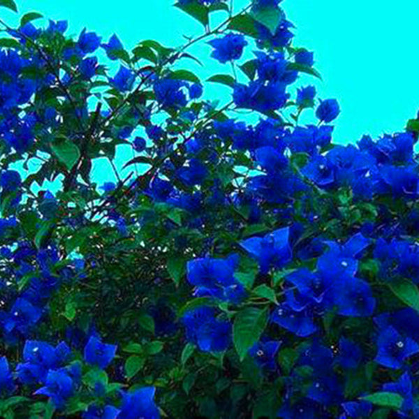 Egrow 100 Pcs/Pack Bougainvillea Seeds Unique Blue Bougainvillea Spectabilis Garden Perennial Bonsai Plant Flower Plantas - Slabiti