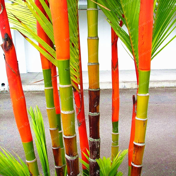 Egrow 100 Pcs/Pack Palm Seeds Lipstick Palm Cyrtostachys Renda Tree Red Sealing Wax Palm Bonsai Pot Plant For Home Garden Bonsai