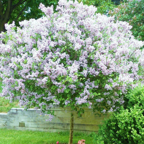 Egrow 50PCS/Pack White Japanese Lilac Seeds White Japanese Lilac Bonsai Extremely Fragrant Clove Flower Bonsai For Home & Garden - Slabiti