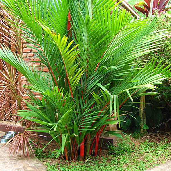 Egrow 100 Pcs/Pack Palm Seeds Lipstick Palm Cyrtostachys Renda Tree Red Sealing Wax Palm Bonsai Pot Plant For Home Garden Bonsai - Slabiti